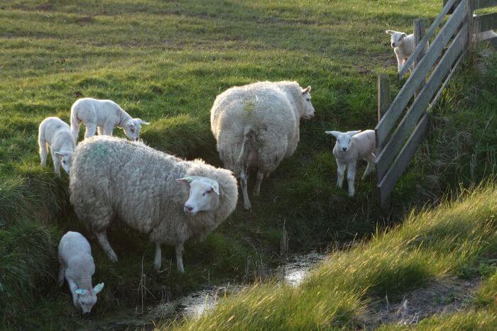 Овцы тексель с ягнятами на пастбище