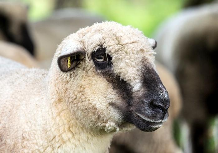 Овцы гемпшир