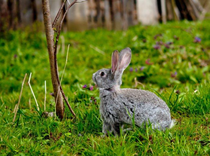 Кролик перед поеданием веточного корма