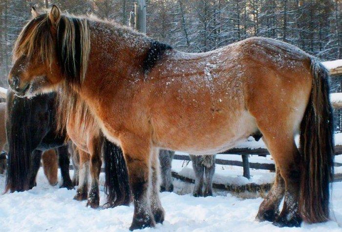 Якутская порода лошадей