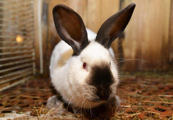 Больной кролик отказывается от пищи