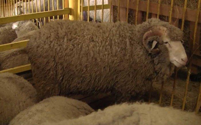 Сальская прода овец