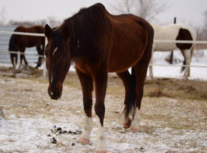 Хромота у лошади