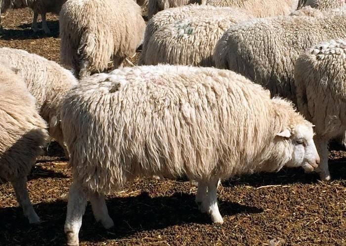 Алтайская порода овец