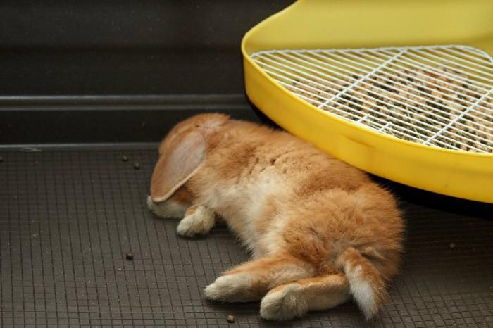 Кролик хорошо спит, привыкнув к новому месту