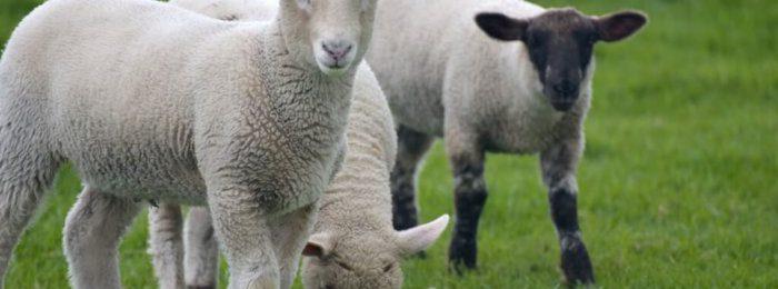 Овцы Дорсет