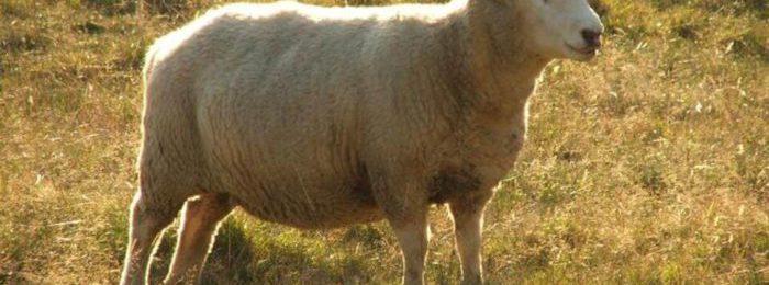 Сараджинская порода овец