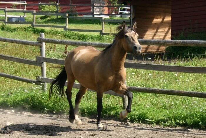 Лошадь эстонской породы