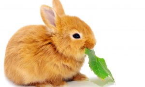 Питание декоративного кролика