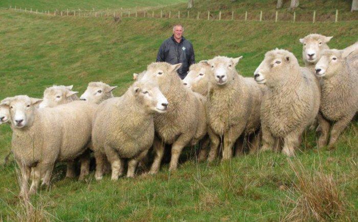 Внешний вид овец ромни-марш