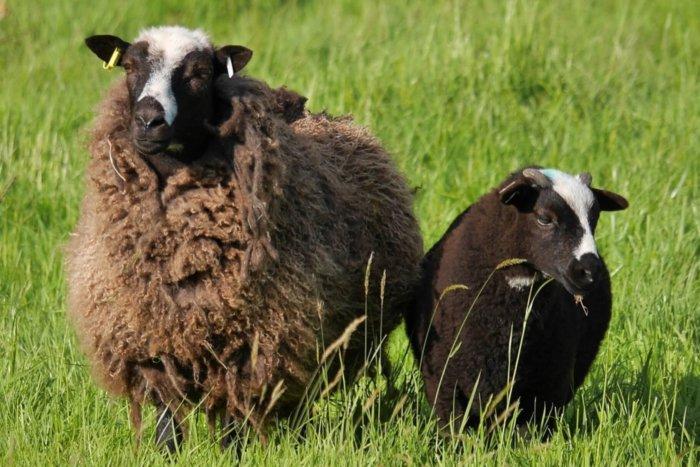 Овцы balwen
