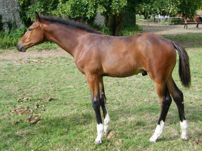 «le cheval de Selle Francais»