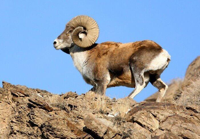 Архар - прародитель овцы?
