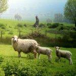 Овцы ромни-марш