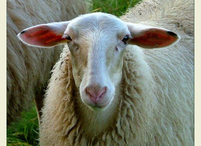 Овцы сараджинской породы