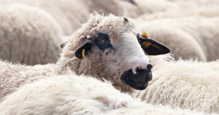 Длина волокон – у овцематок – 7-8 см