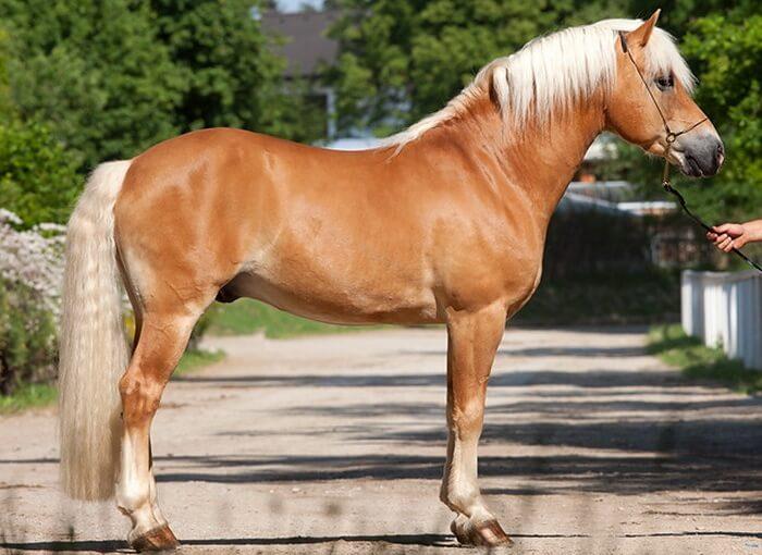 Золотисто-соловая лошадь