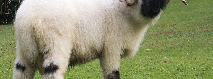 Внешность валлийских овец