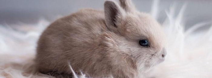 Кролик короткошерстный карликовый