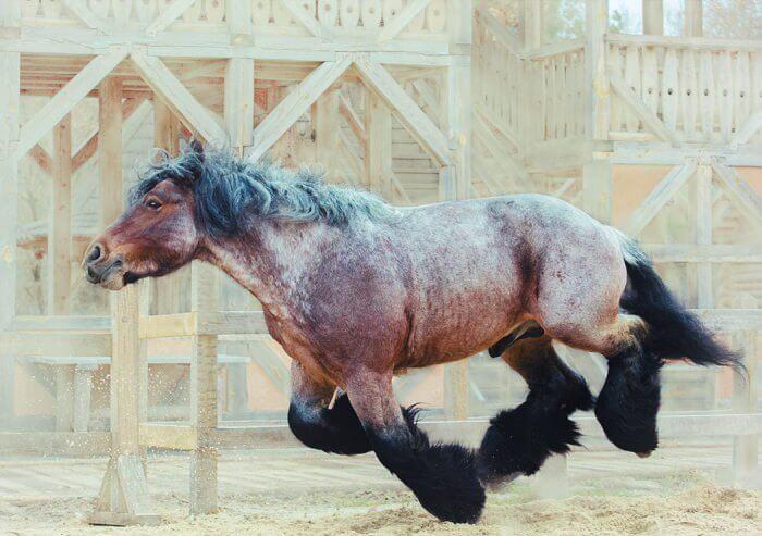 Брабансоны – невысокие лошади с крепким костяком