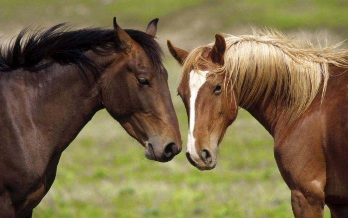 Разведение лошадей на Урале