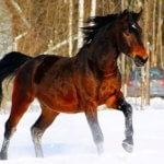 Латвийская упряжная порода лошадей