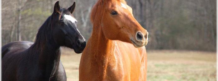 Кустанайские лошади