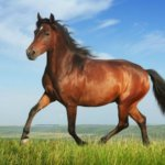 Скаковые породы лошадей