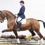 Ольденбургская лошадь на выставке