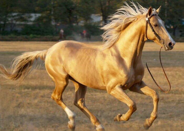 Внешность донской  лошади