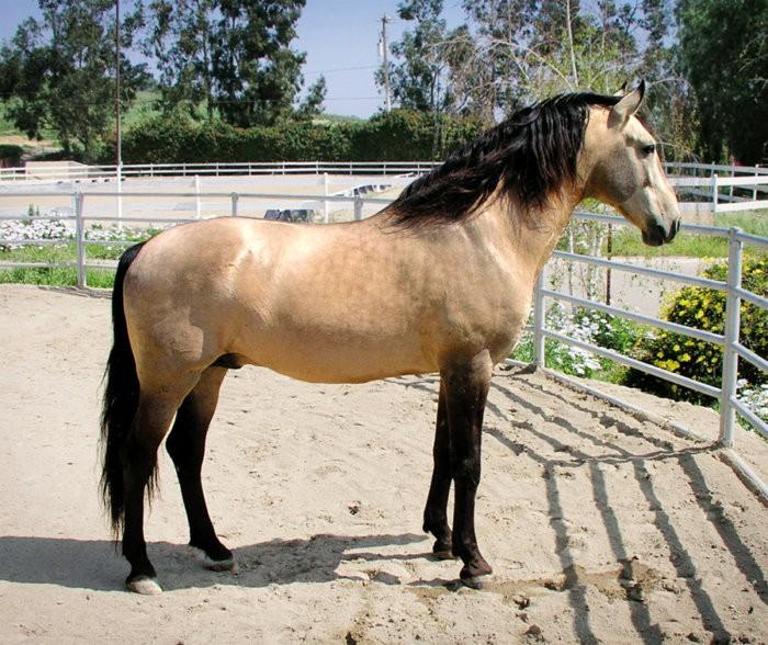 Внешность лошадей лузитано