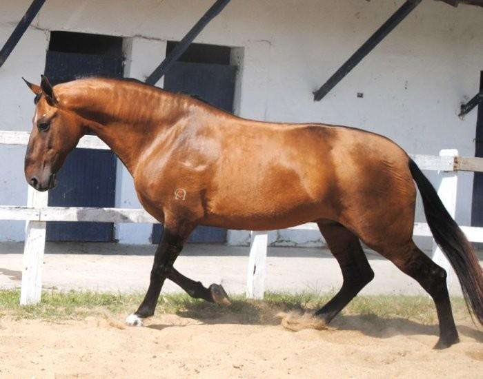 Лошадь Камполина