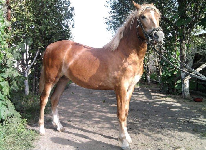 Экстерьер башкирских лошадей