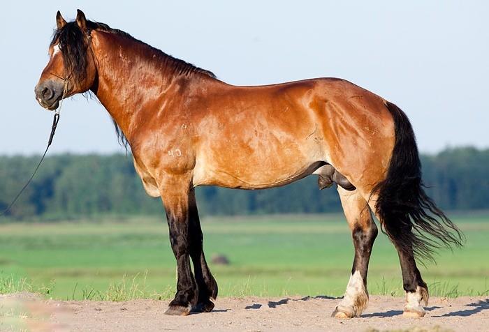 Белорусские лошади отличаются крепким телосложением