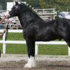 Лошади першерон