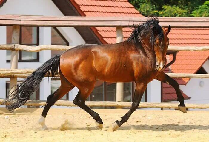 Американская стандартбредная порода лошадей