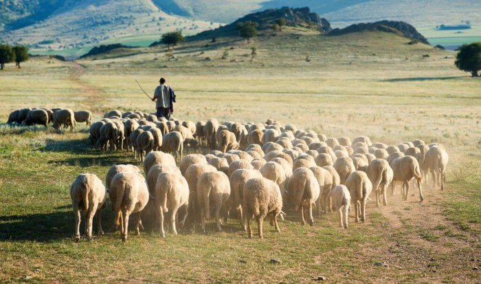 Выпас овец