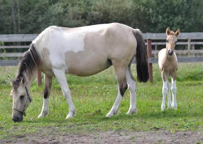 Башкирская лошадь с жеребенком