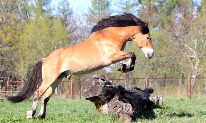 Белорусская упряжная – уникальная порода лошадей