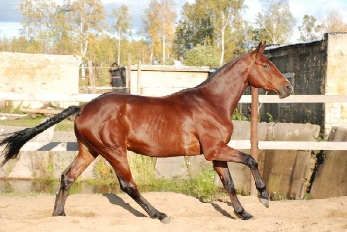 Ольденбургсие лошади могут иметь разную масть