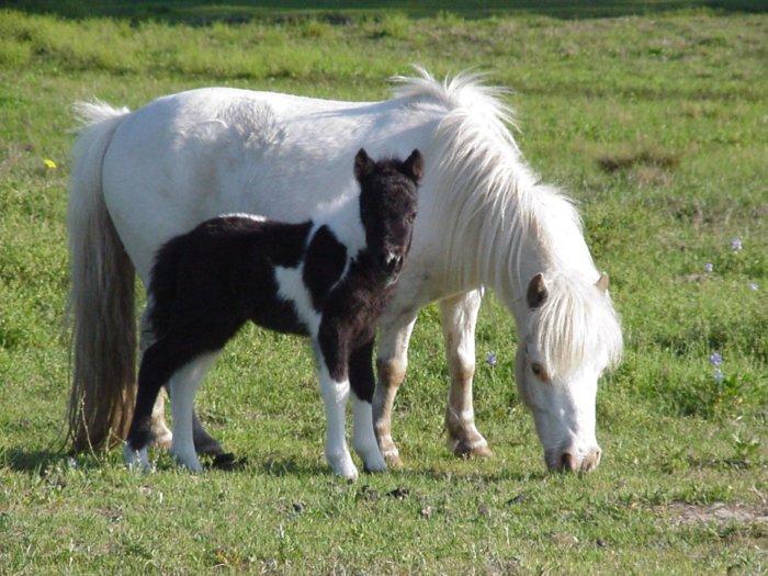 Порода лошадей Ньюфаундлендский пони