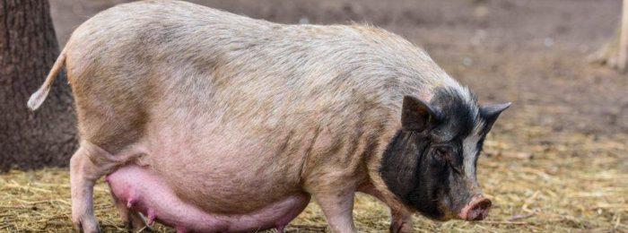 Супоросная свиноматка на прогулке