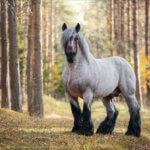 Бельгийская упряжная лошадь