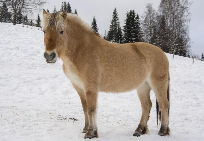 Небольшие лошадки породы фьорд