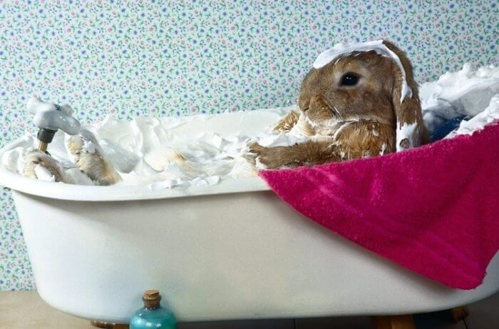 Купание декоративного кролика