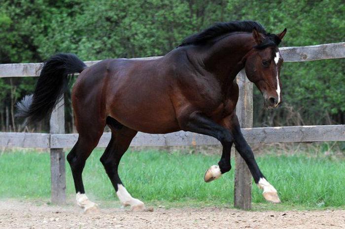 Ганноверская скаковая лошадь