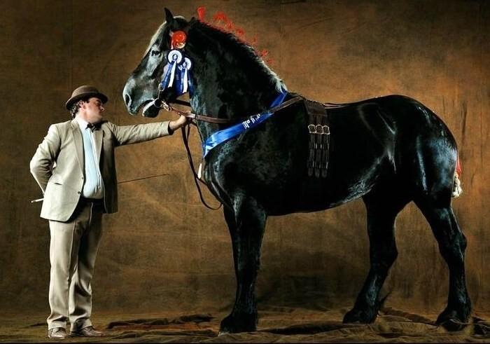 Лошадь Першеронь