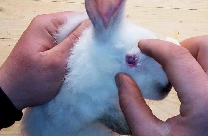 Болезни декоративного кролика