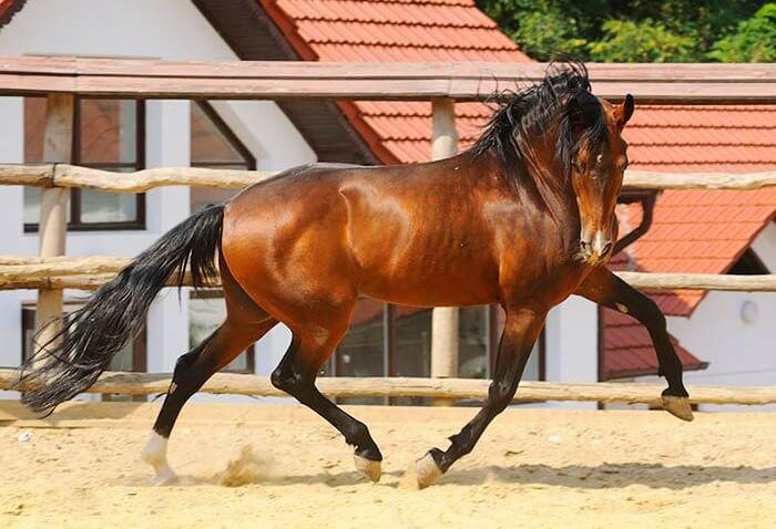 Американская стандартбредная лошадь