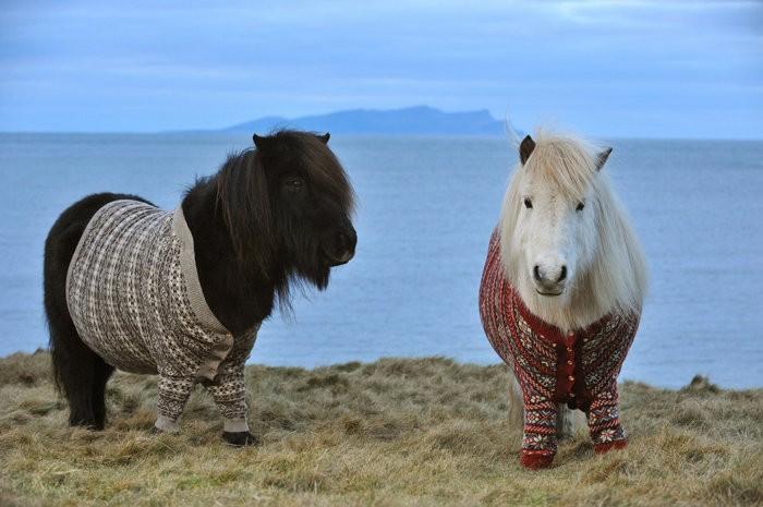 Порода шотландский пони